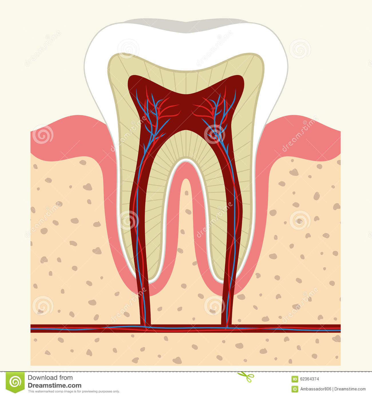Human Tooth And Gum Anatomy Stock Vector - Illustration of ache ...