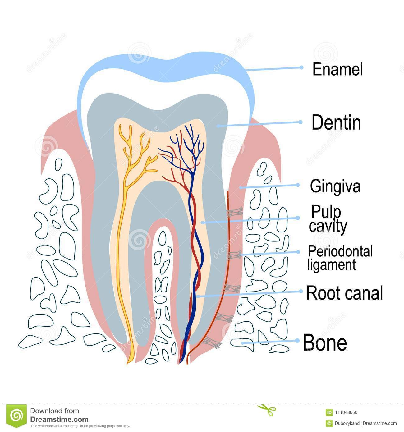 Human Tooth Structure With Description Vector Illustration Stock