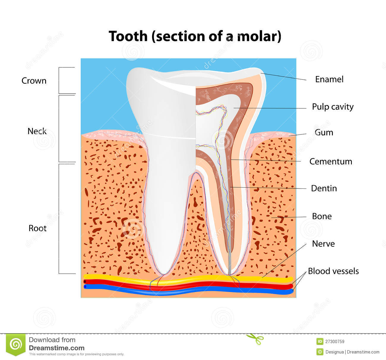 Human Tooth Structure Vector Royalty Free Stock Images