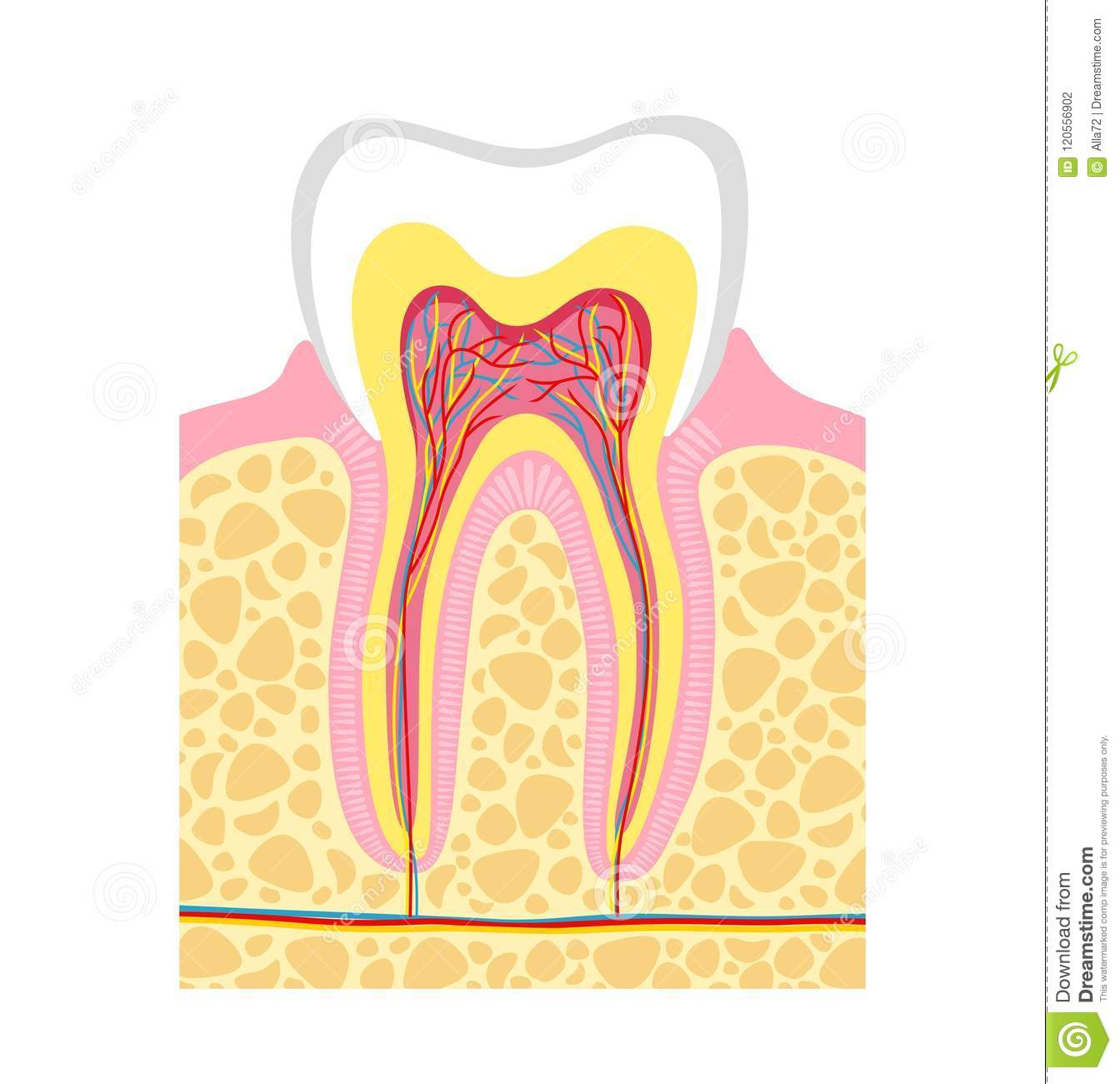 Human Tooth Structure. Vector Illustration Human Tooth Anatomy ...