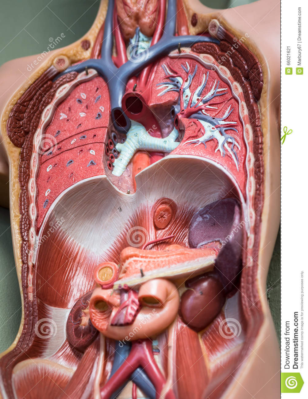 Fabulous Human Torso Cutaway Stock Image Image Of Abstract Tissue 66021621 Wiring Cloud Oideiuggs Outletorg