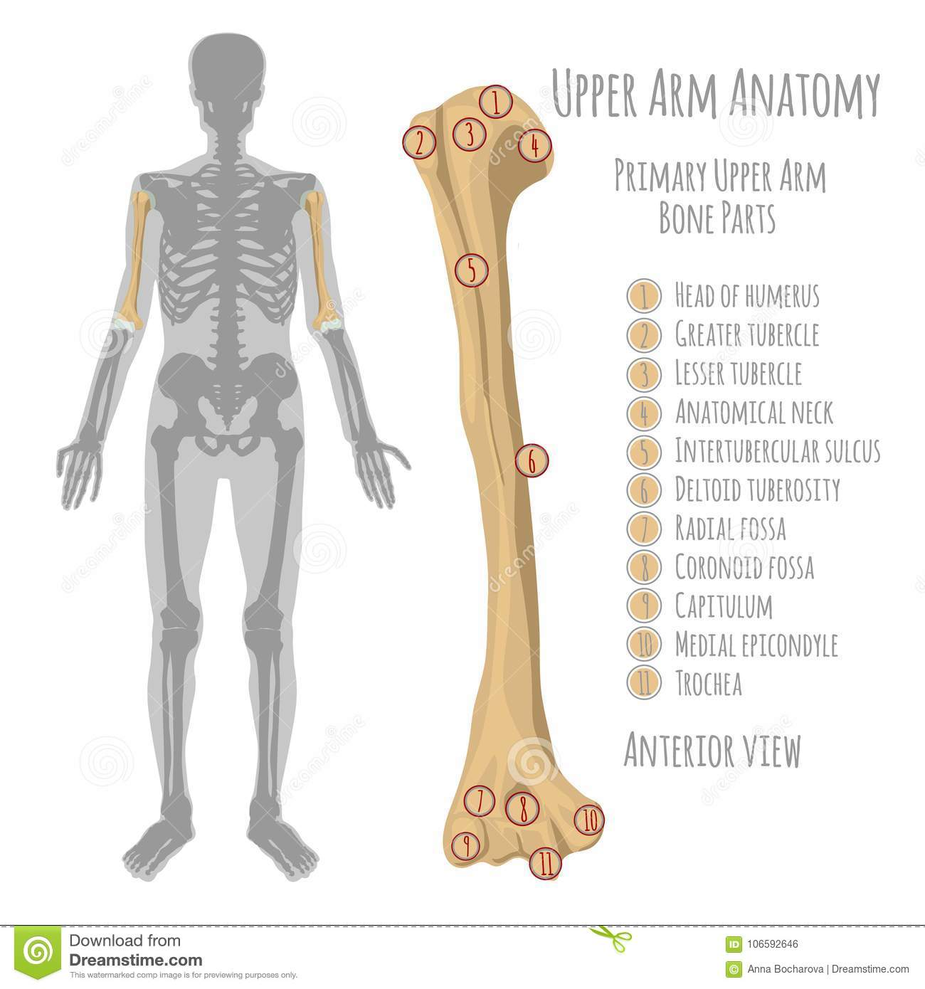 Human upper arm anatomy stock vector. Illustration of coronoid ...