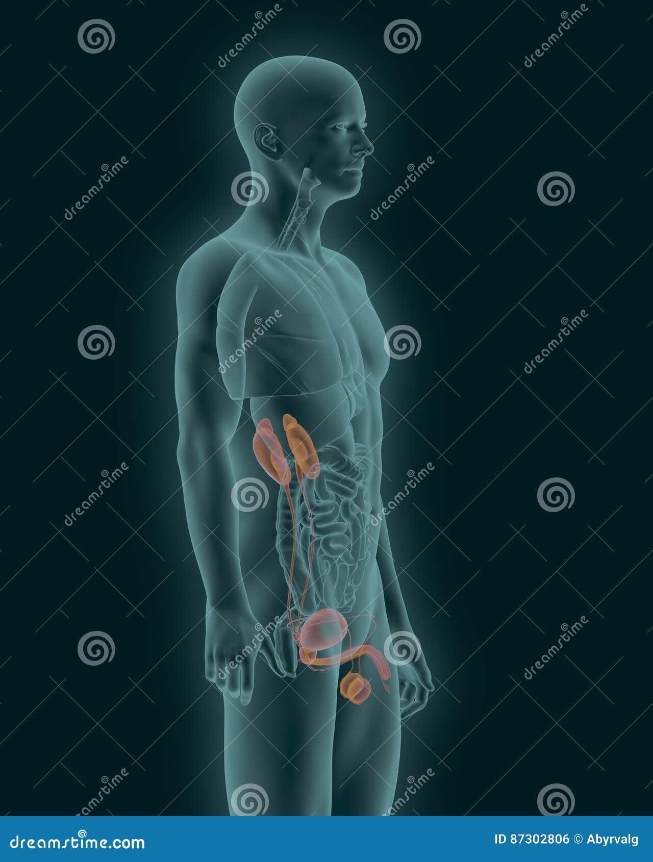 Human Urinary System Side View 3d Illustration Stock Illustration ...