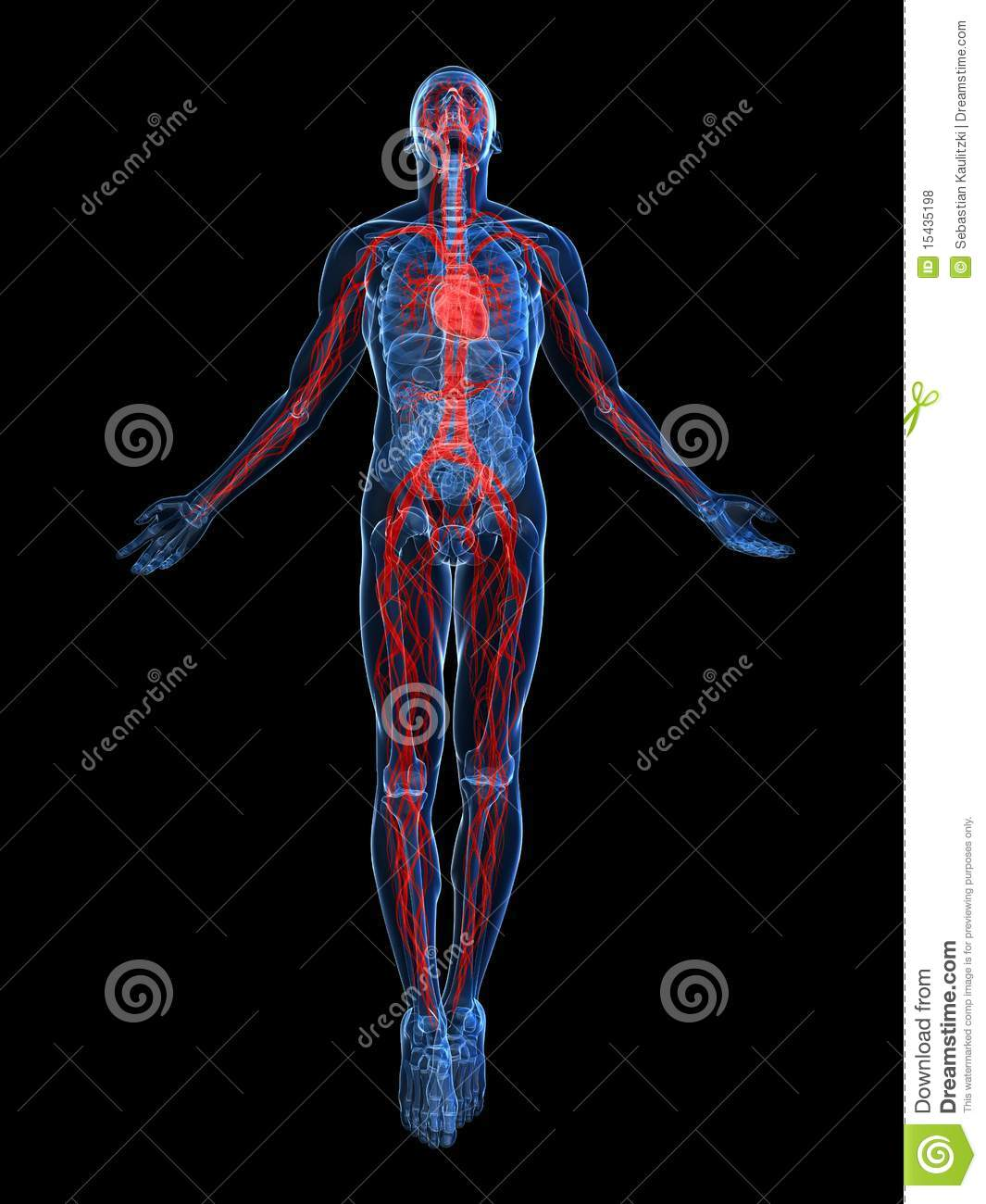 Human Vascular System Stock Illustration Illustration Of Anatomy