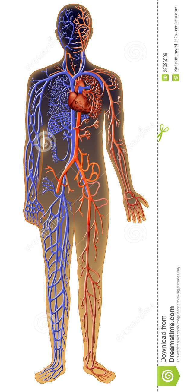 Royalty Free Stock Photos Human Vascular System Image22096538 also Circulatory System Major Arteries Circulatory System Human Anatomy further Circulatory System also Functional Heart And Circulatory System Model together with Diagram Of Human Arteries. on human circulatory system arteries and veins