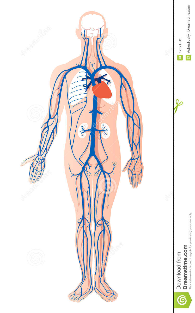 Human Venous System Stock Vector Illustration Of Arterial 12971512