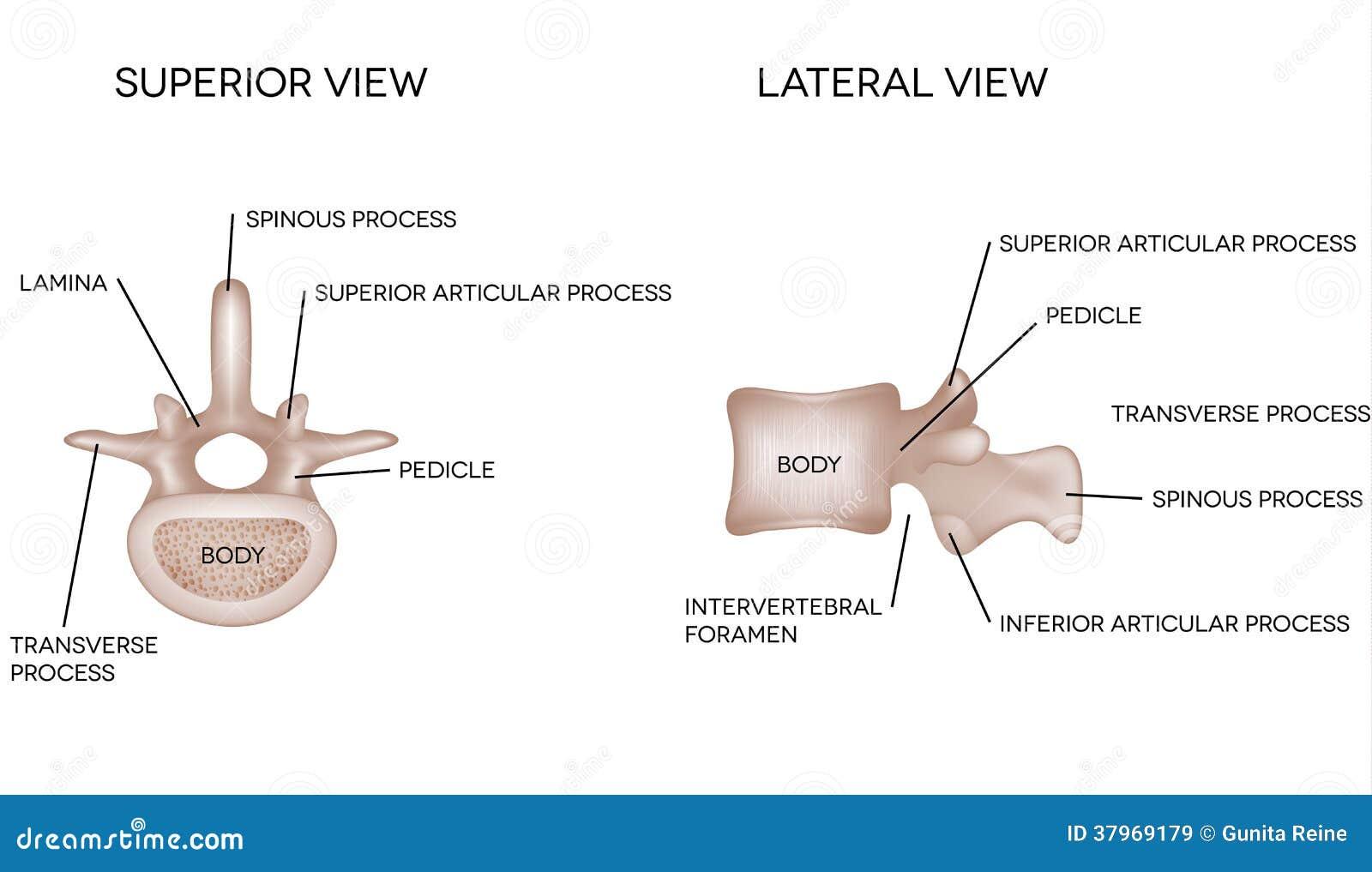Human Vertebral Bones With Description Stock Vector Illustration