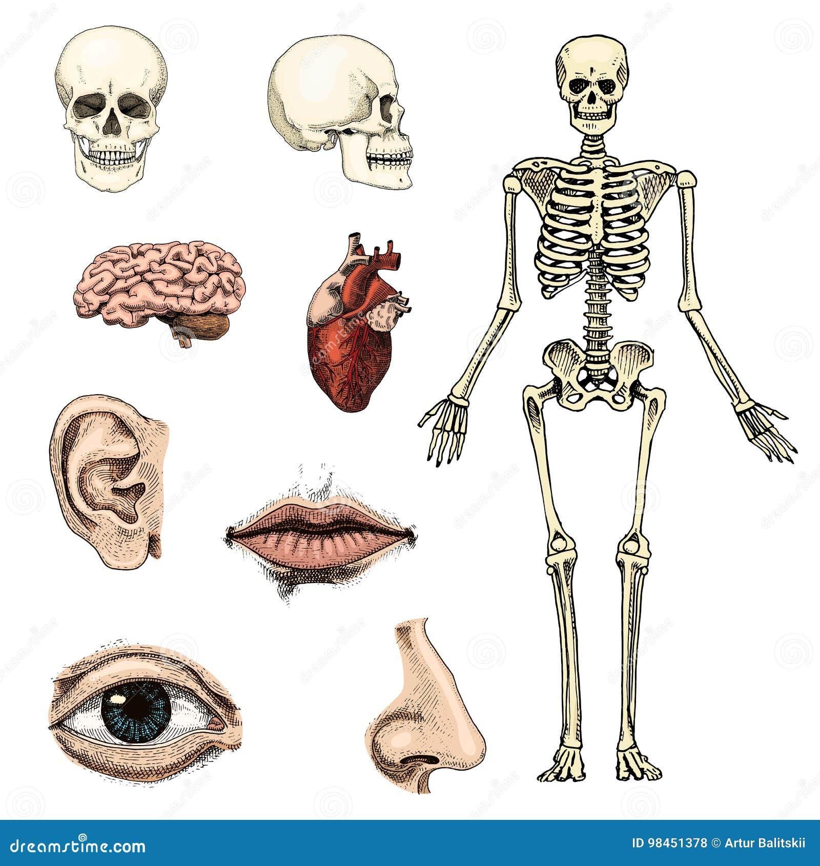Humanbiologie, Anatomieillustration Gravierte Hand Gezeichnet In ...
