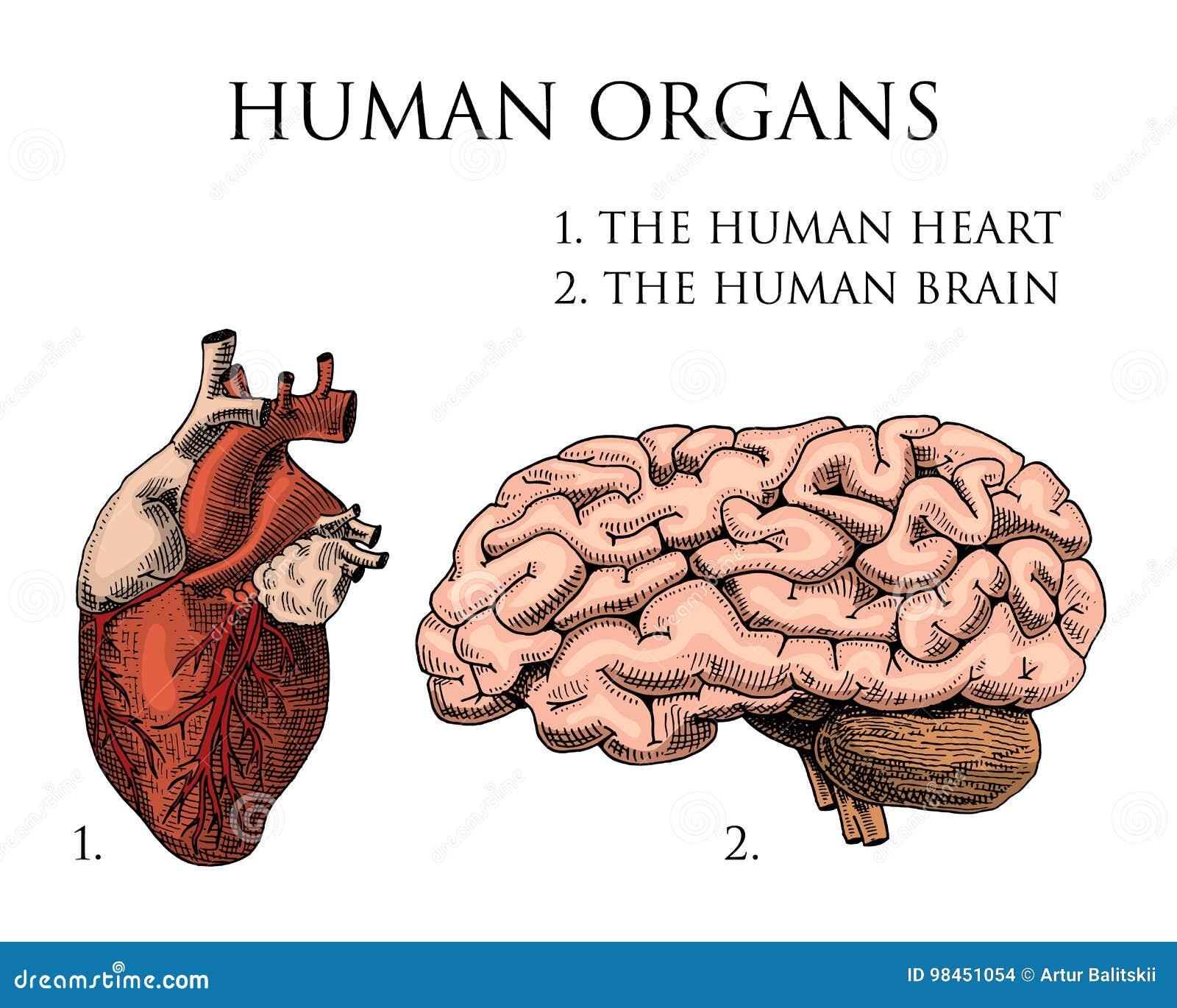 Humanbiologie, Organanatomieillustration Gravierte Hand Gezeichnet ...