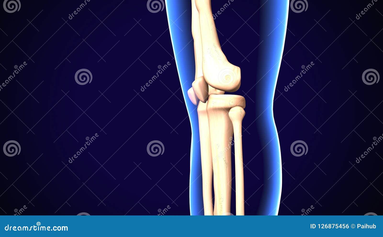 3d Rendered Anatomy Illustration Of A Human Knee Stock Illustration