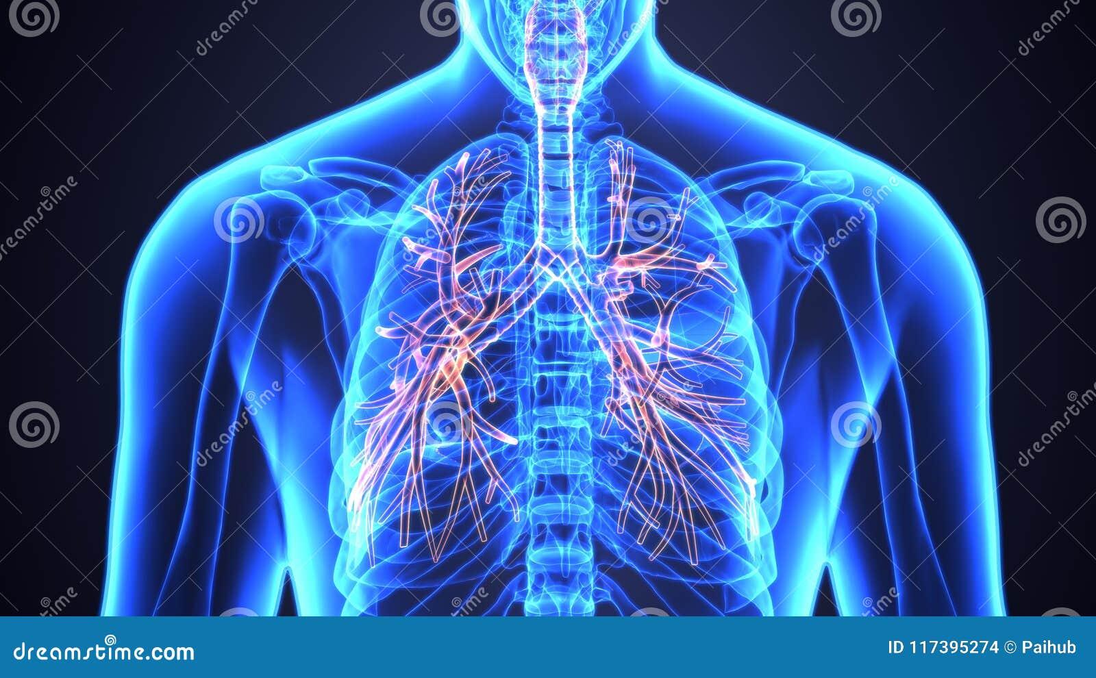 3d Illustration Of Human Lungs Inside Anatomy Larynx Trachea