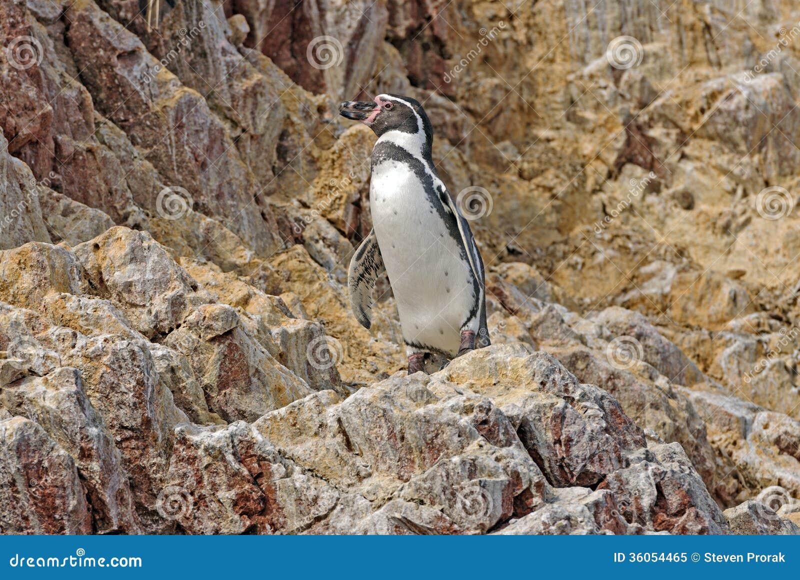 Humboldt Penguin on the Peruvian Coast