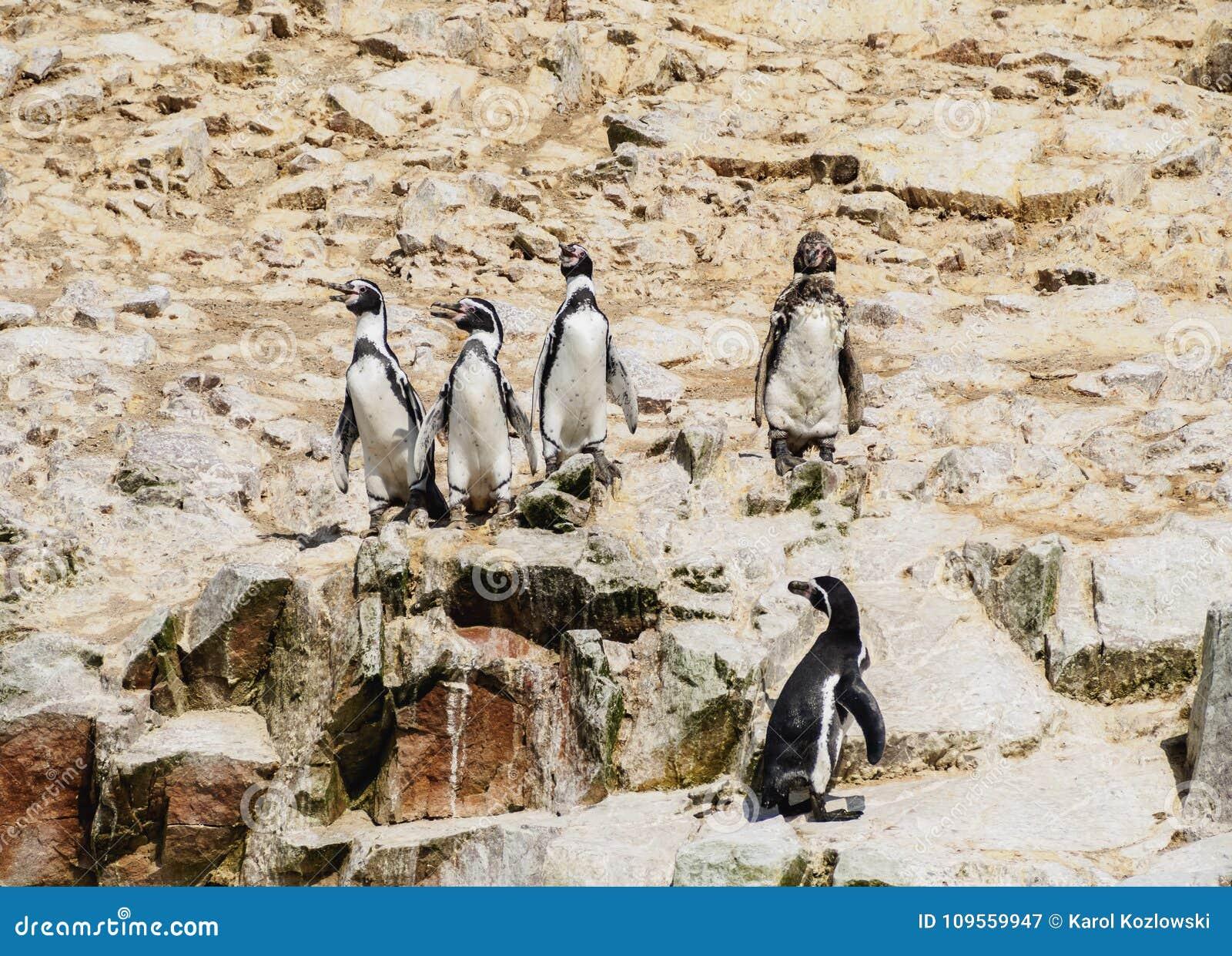 Humboldt penguins στα νησιά Ballestas στο Περού