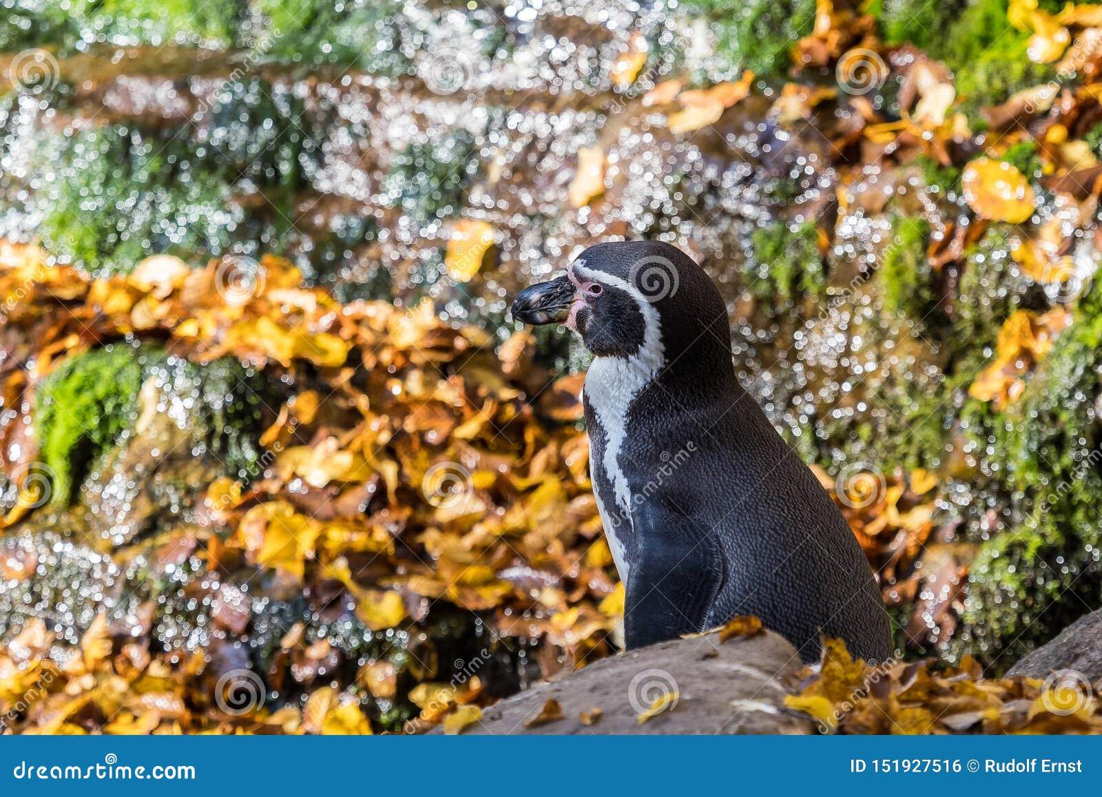 Humboldt-Pinguin, Spheniscus humboldti im Zoo