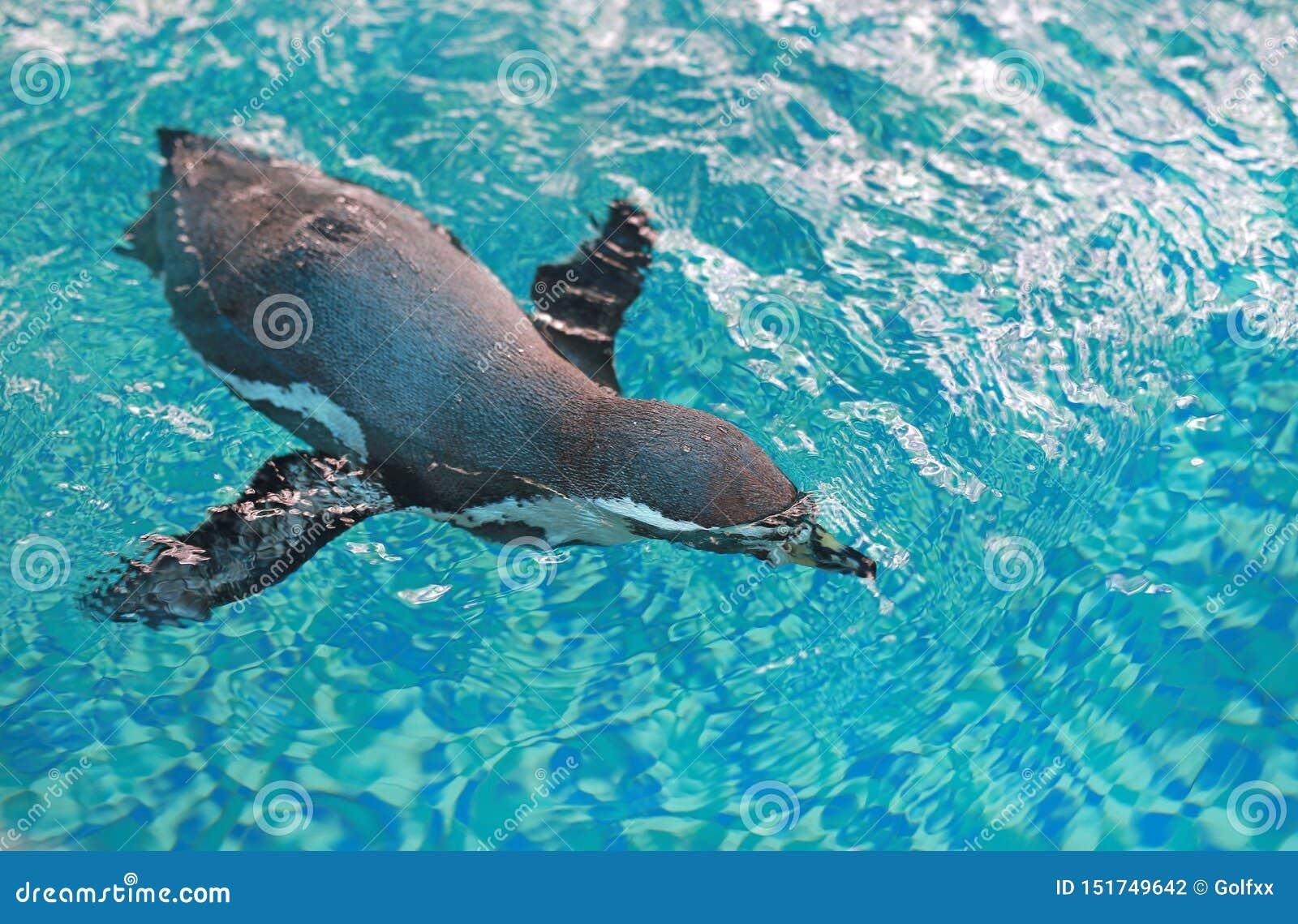 Humboldt-Pinguin Spheniscus humboldti Schwimmen