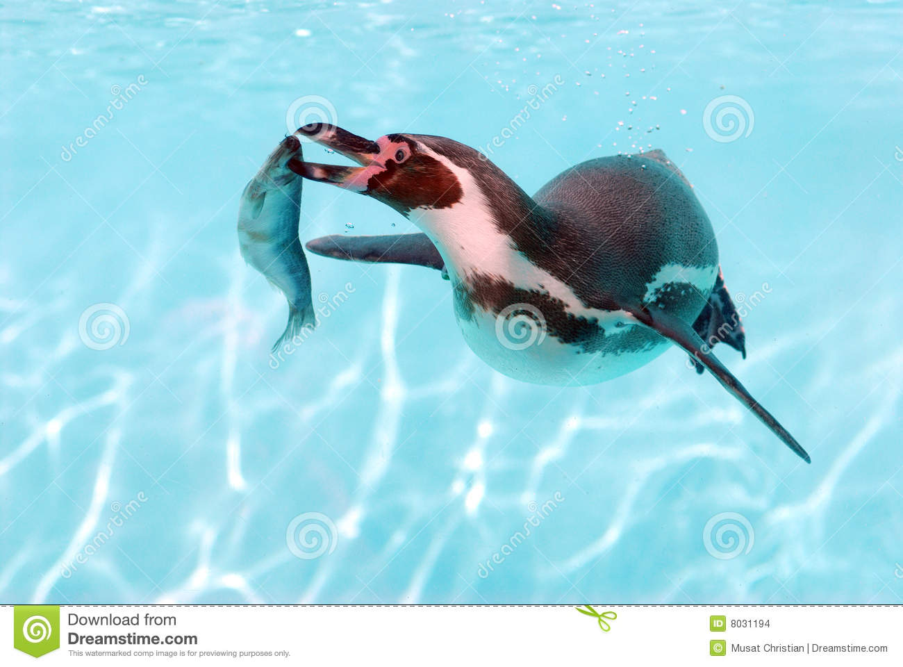 Penguins catching fish