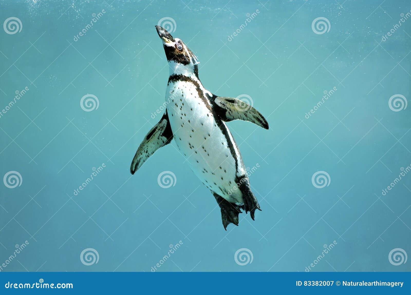 Humboldt-Pinguinunterwasserschwimmenflügel öffnen das Schauen