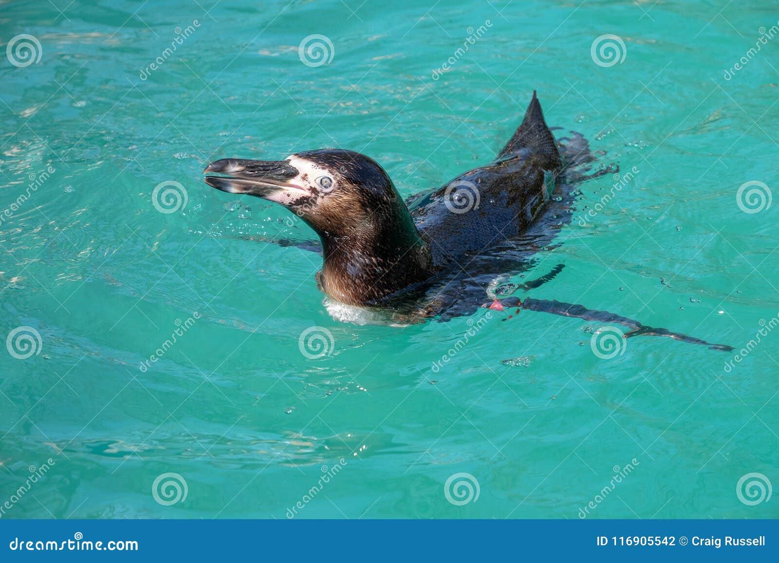 Humboldt pingwinu dopłynięcie