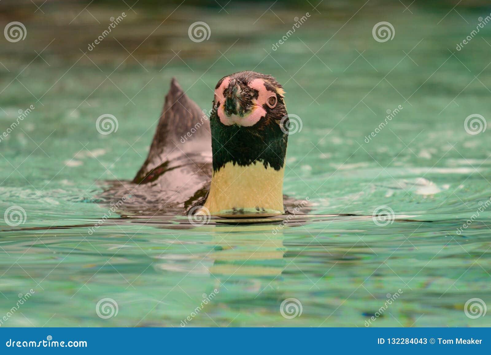 Humboldti dello Spheniscus del pinguino di Humboldt