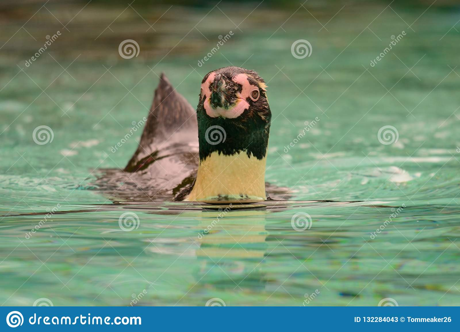 Humboldti spheniscus пингвина Гумбольдта
