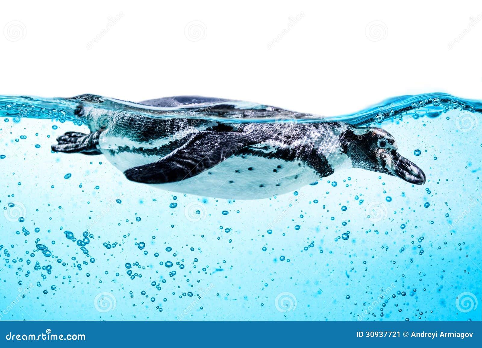 Humboldtpinguïn (Spheniscus-humboldti)