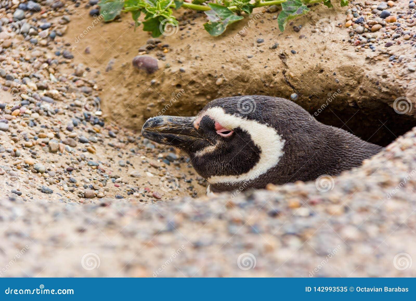 Humboldtpinguïn in zijn nest/hol in Argentinië