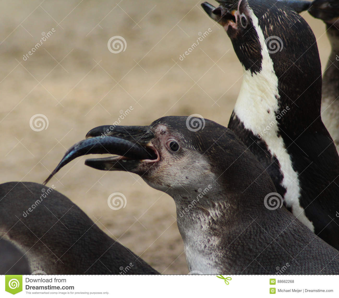 Humbolt penguin eating fish stock photo image of beach for Penguin and fish