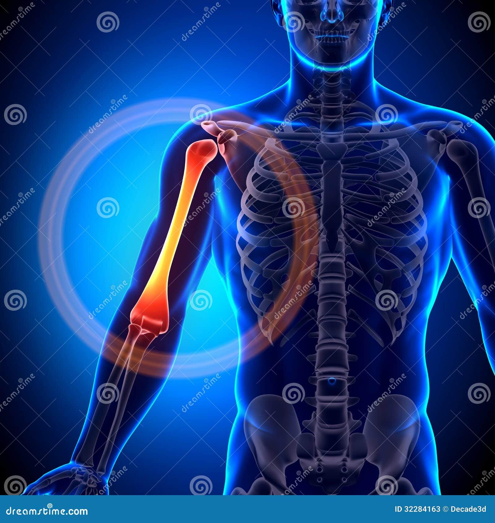 Humerus / Arm Anatomy - Anatomy Bones Stock Photos - Image ... X Ray Human Skull