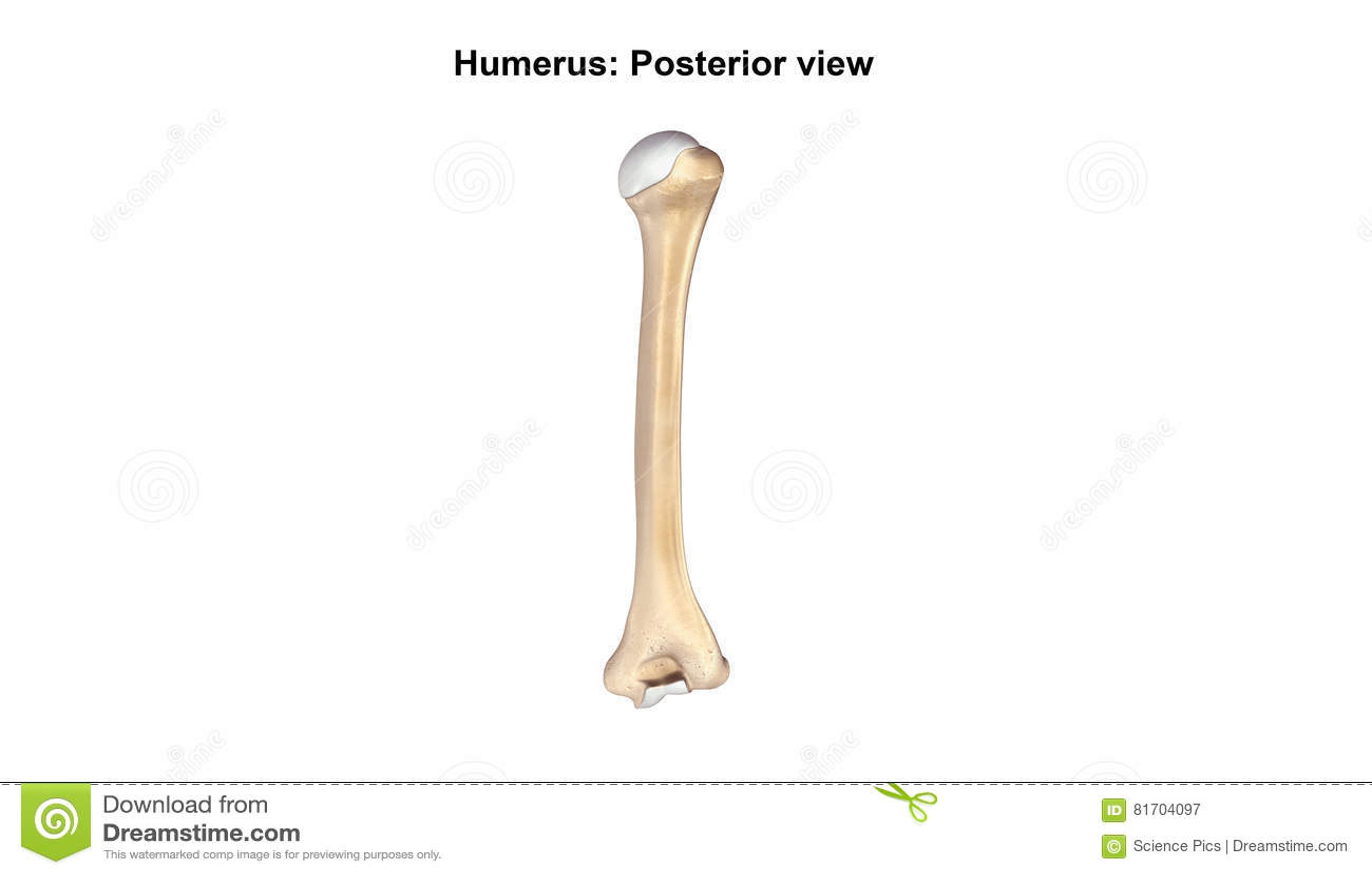 Humerus Bone Posterior View Stock Image Image Of Humerus Shoulder