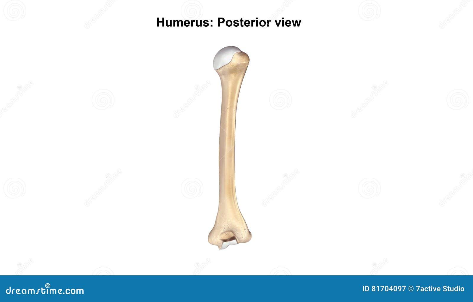 Fein Wo Das Humerusknochen Befindet Fotos - Menschliche Anatomie ...