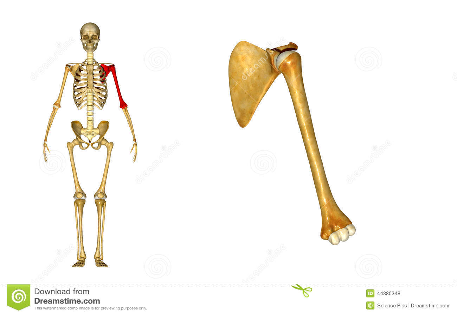 Ziemlich Knochen Humerus Galerie - Anatomie Und Physiologie Knochen ...