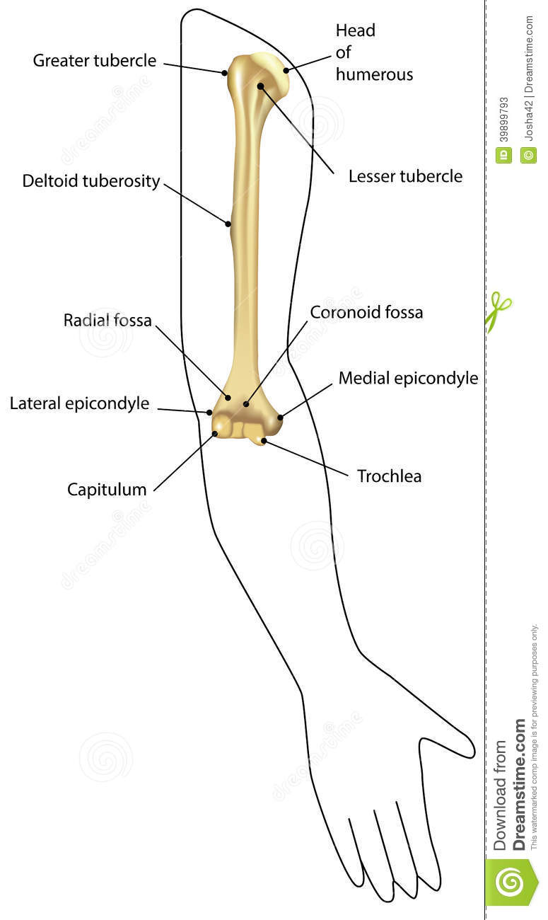 Humerus Diagram Labeled - Trusted Wiring Diagram •