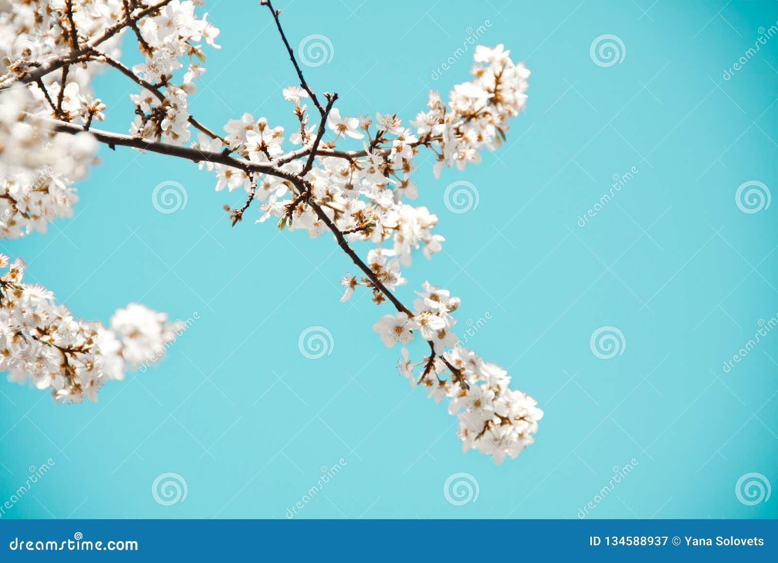 Humeur de source Fond bleu frais avec les fleurs de floraison blanches de cerise pour les vacances