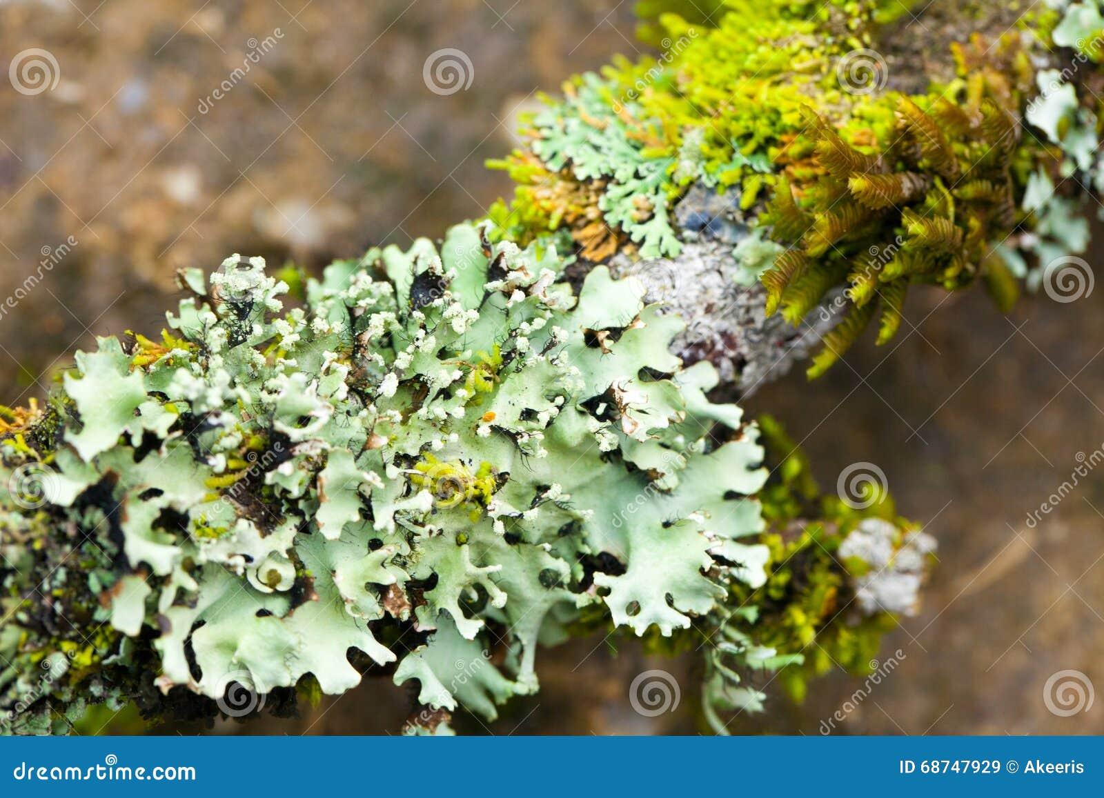 Humidité de lichen