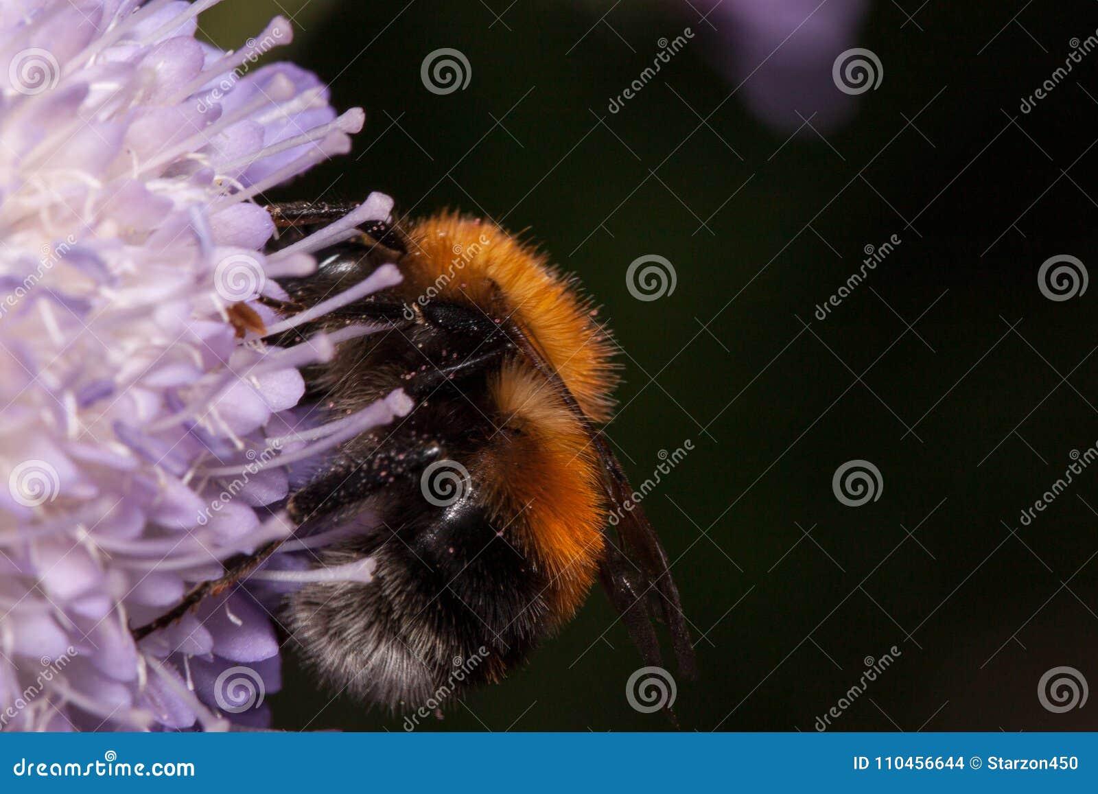 Humlan är annalkande nektar från knautiablomman Djur i djurliv