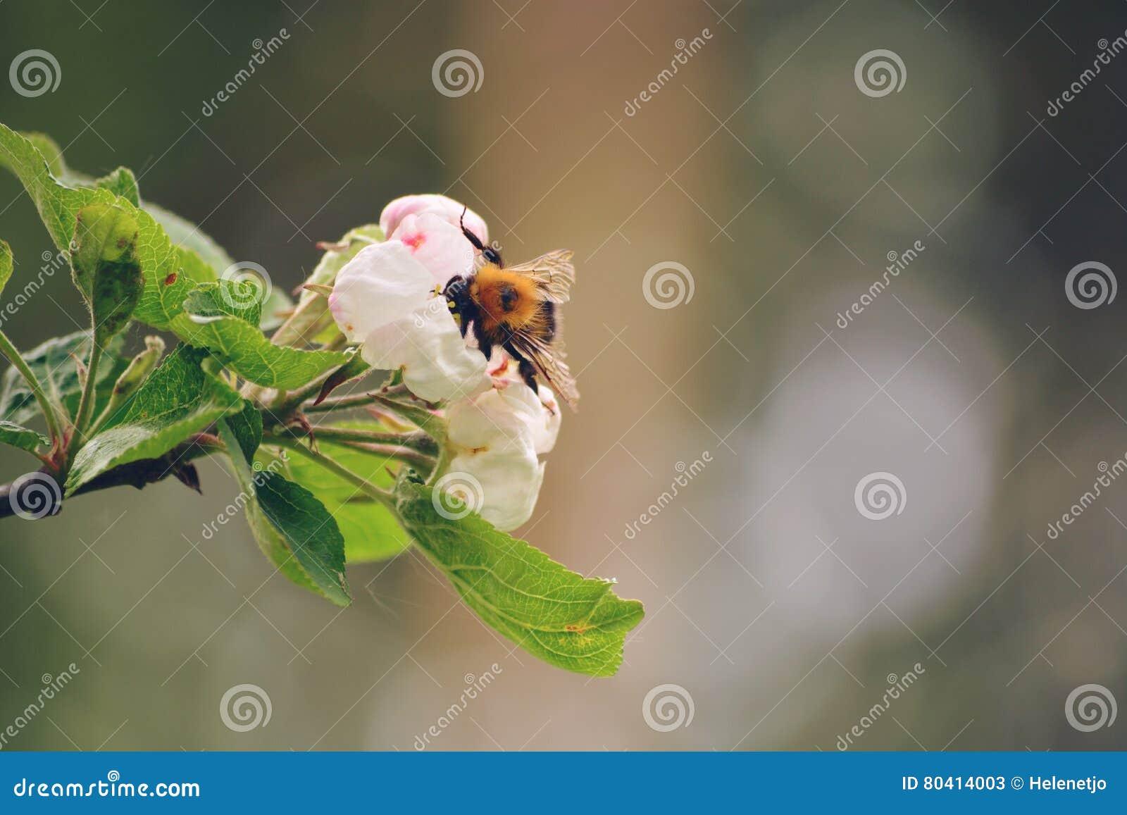 Hummel auf Blüte stockbild. Bild von hummel, blumen, apfel - 80414003
