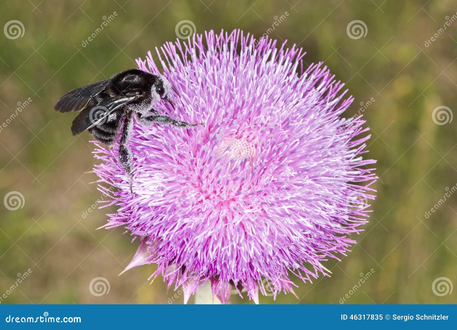 Hummel auf Distel-Blume 02