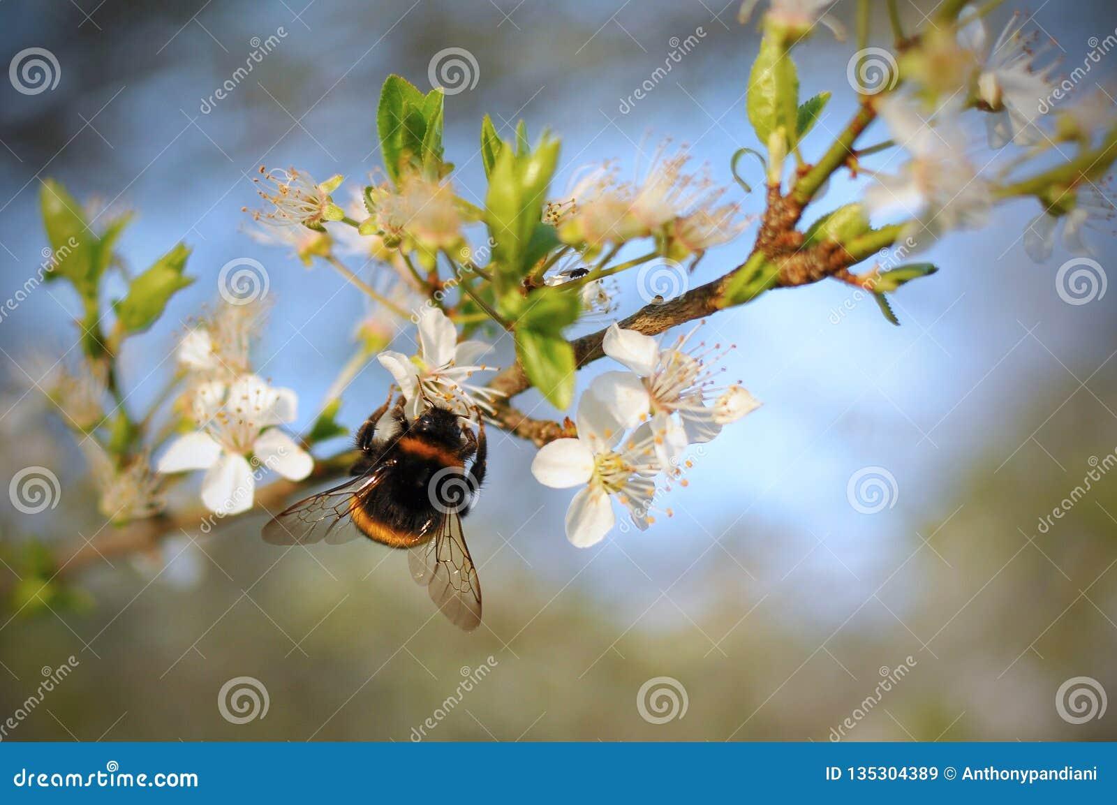 Hummel auf einem Kirschblütenbaum im Frühjahr