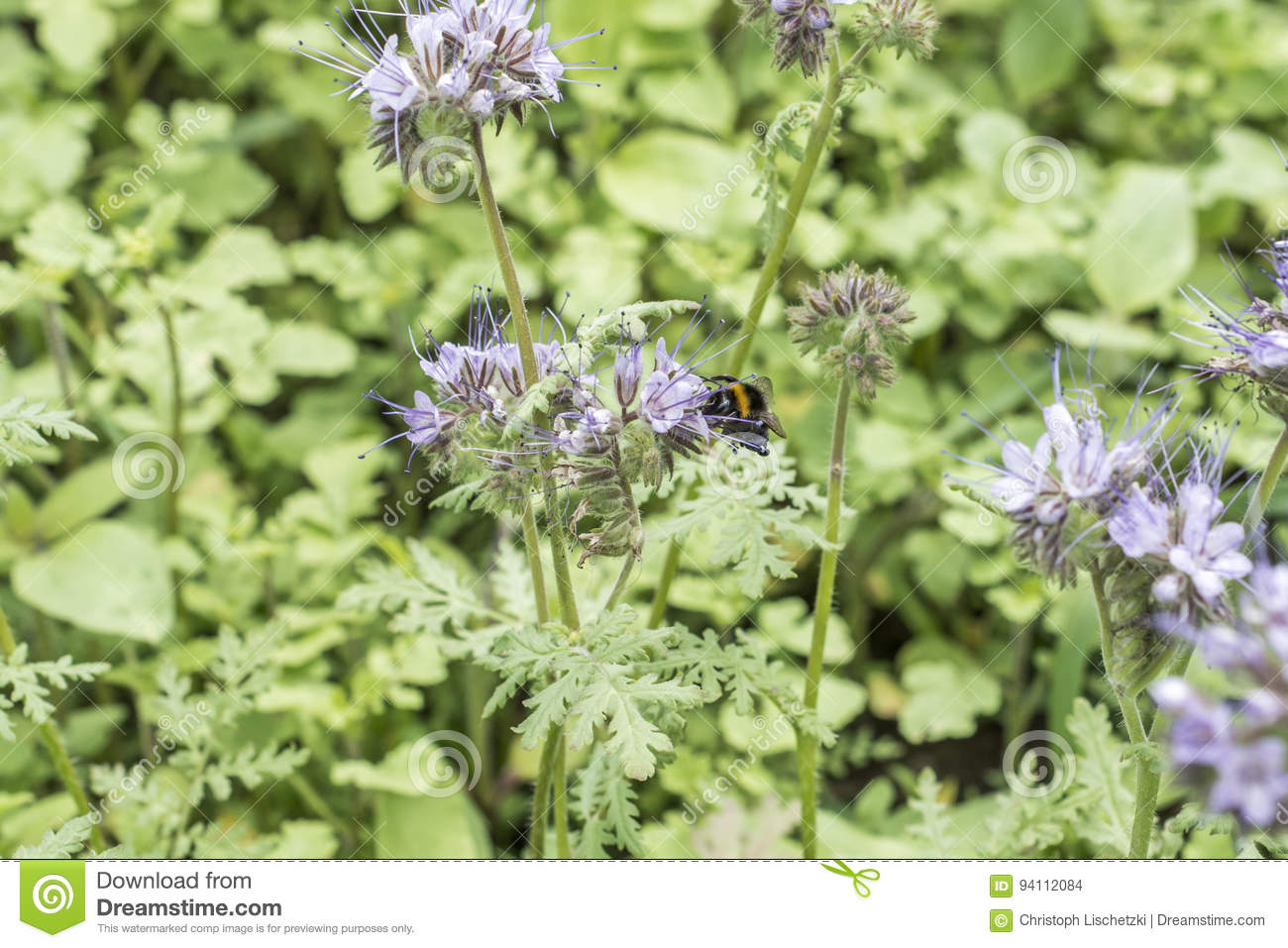 hummel closeu hummel auf phacelia tanacetifolia honiganlage f r bienen und insekt stockfoto. Black Bedroom Furniture Sets. Home Design Ideas