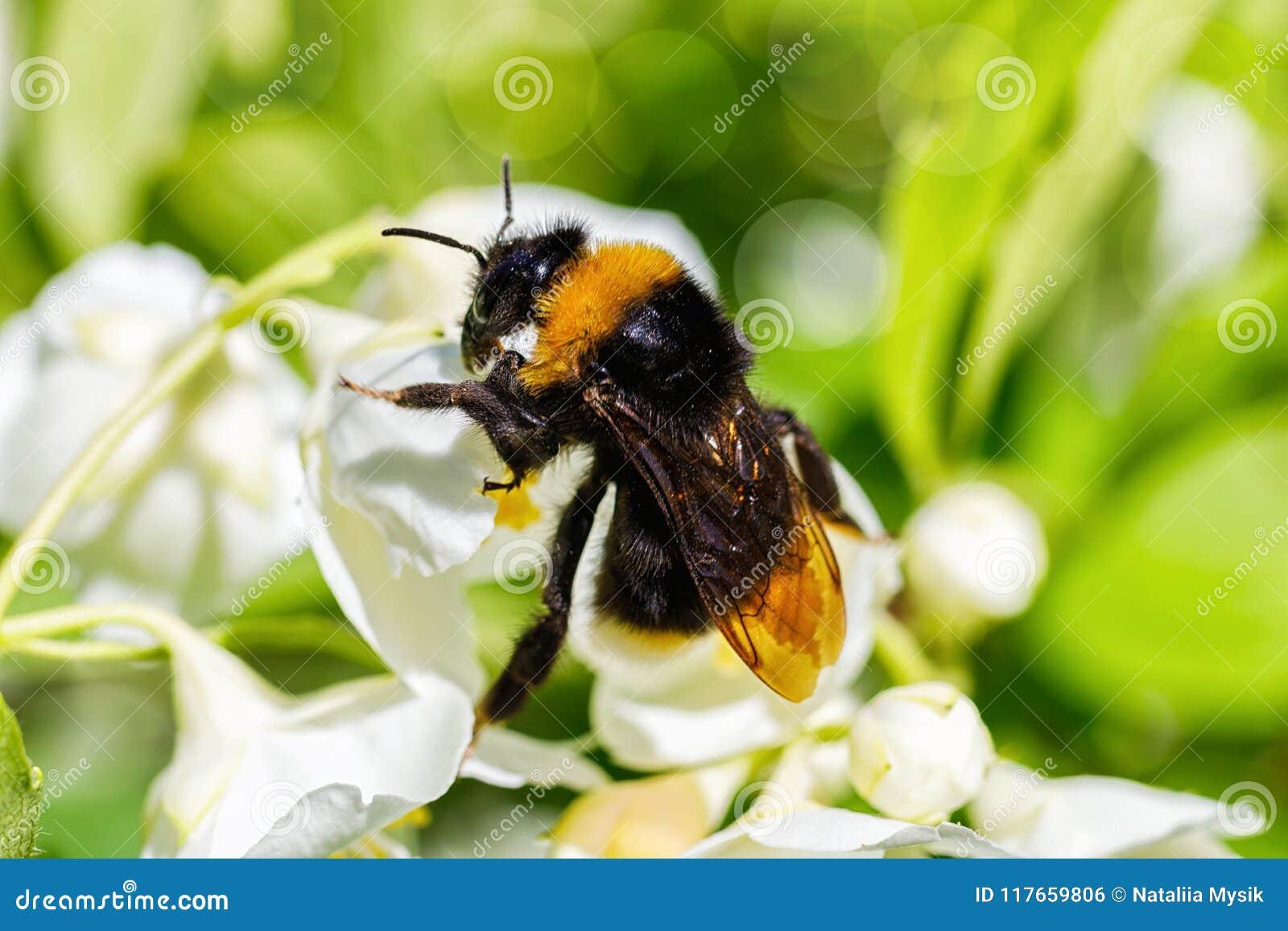 official photos 4917d 508d6 Hummel, Die Eine Weiße Blume Bestäubt Stockfoto - Bild von ...