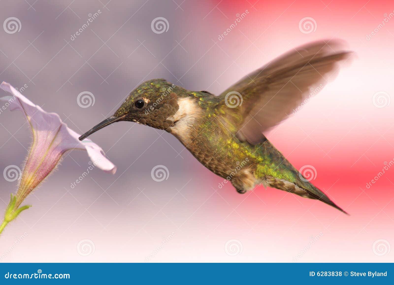 Hummingbird флага предпосылки