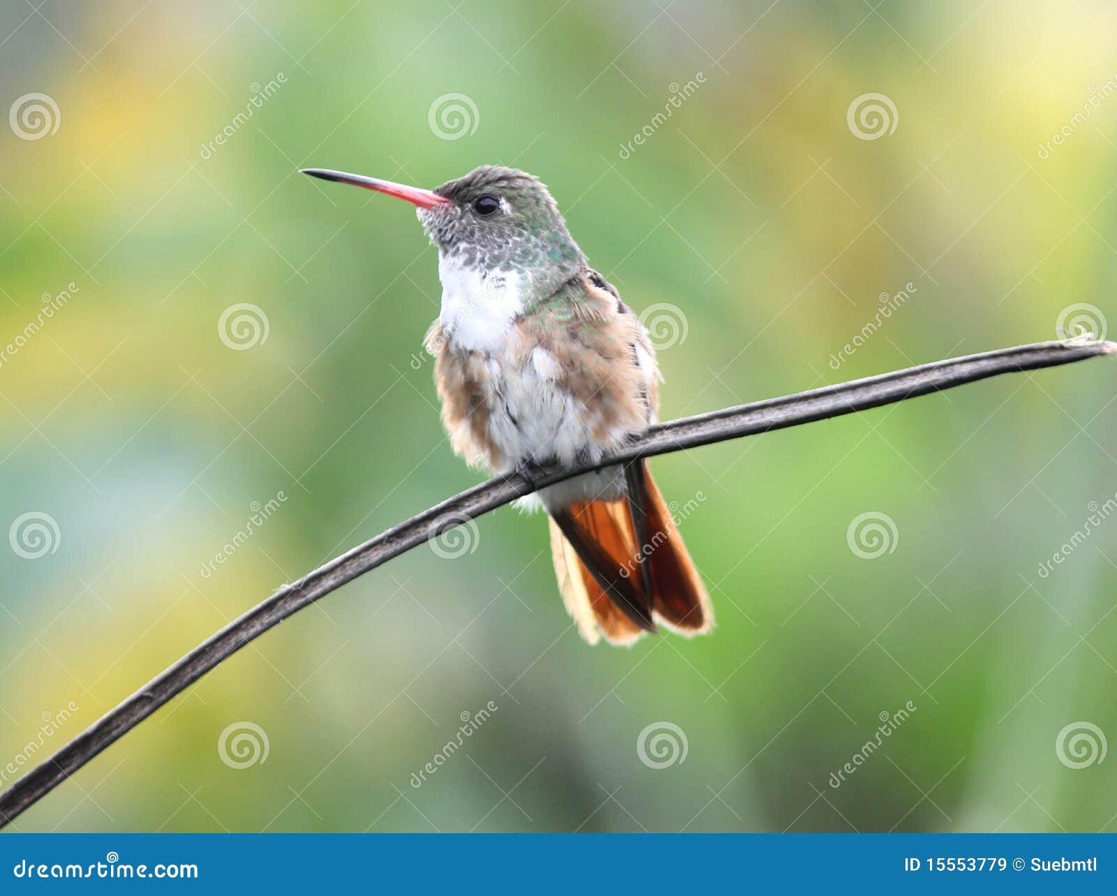 Hummingbird эквадора amazilia
