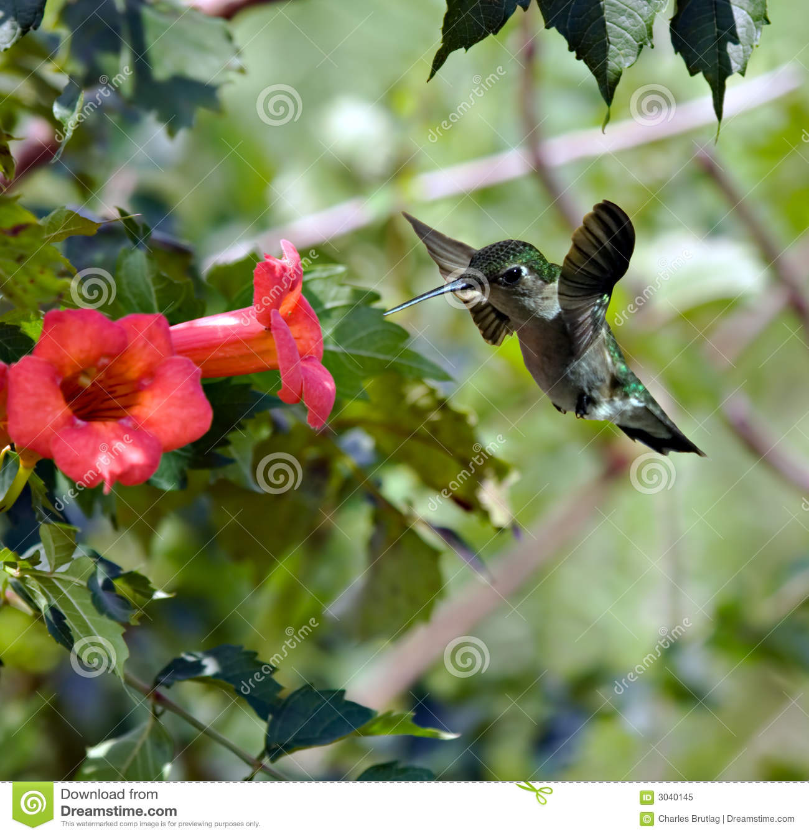 Hummingbird (3)