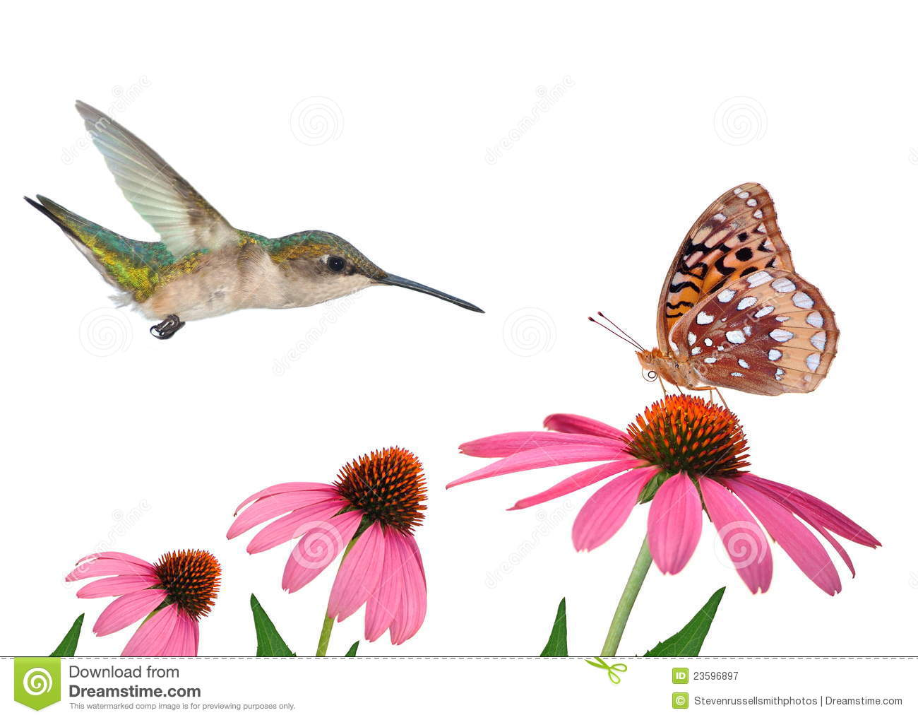 female Ruby- throated Hummingbird (Archilochus colubris) and a Great ...