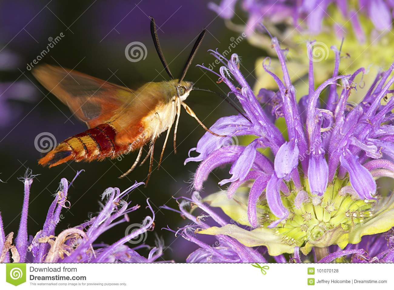 Hummingbird moth hovers while foraging on lavender bee balm flow