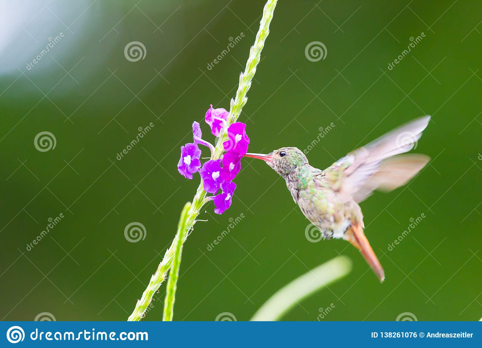Hummingbird, Colibri thalassinus, beautiful green blue hummingbird from Central America hovering in front of flower background in