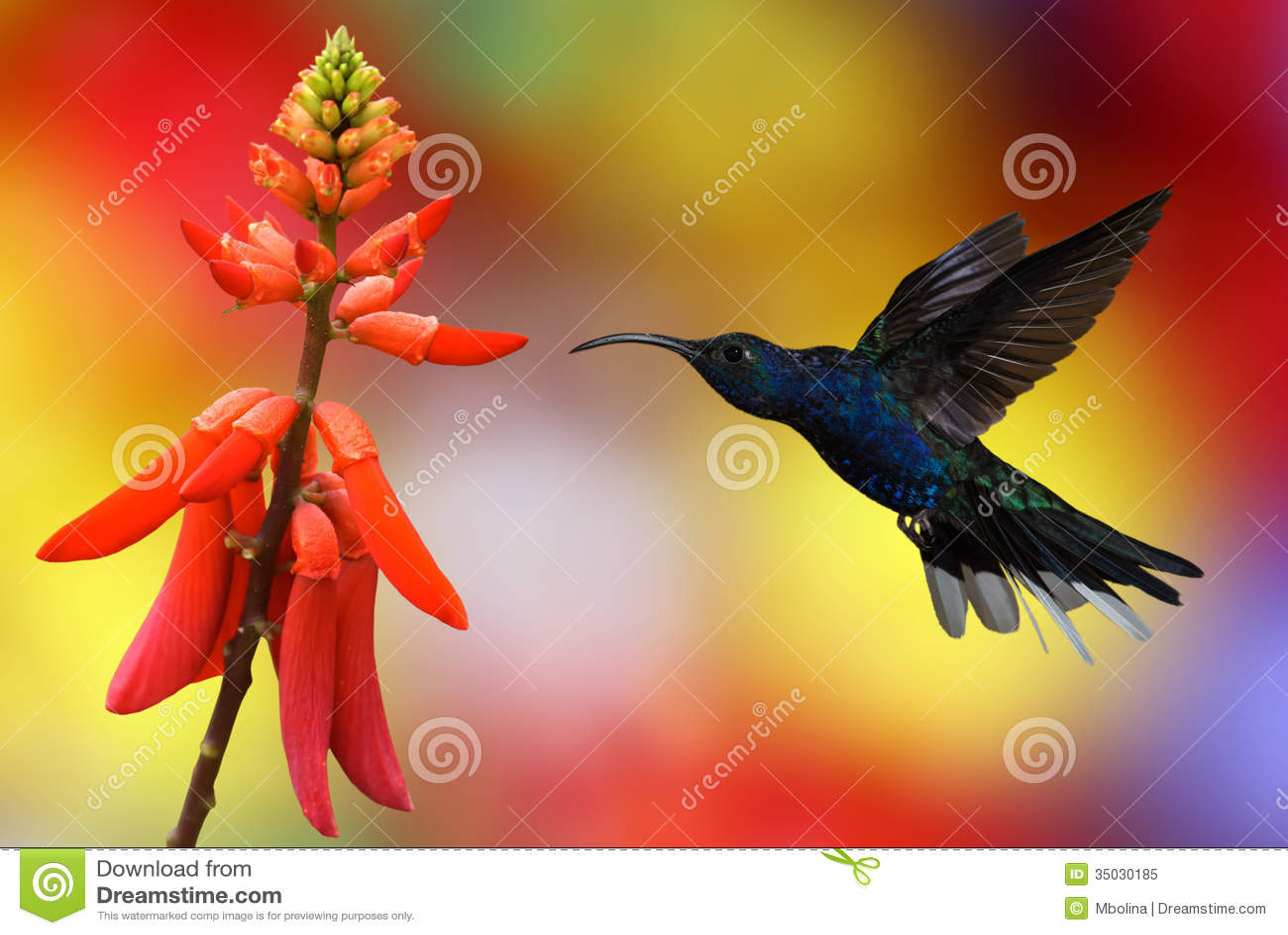 hummingbird stock photos images u0026 pictures 9 038 images