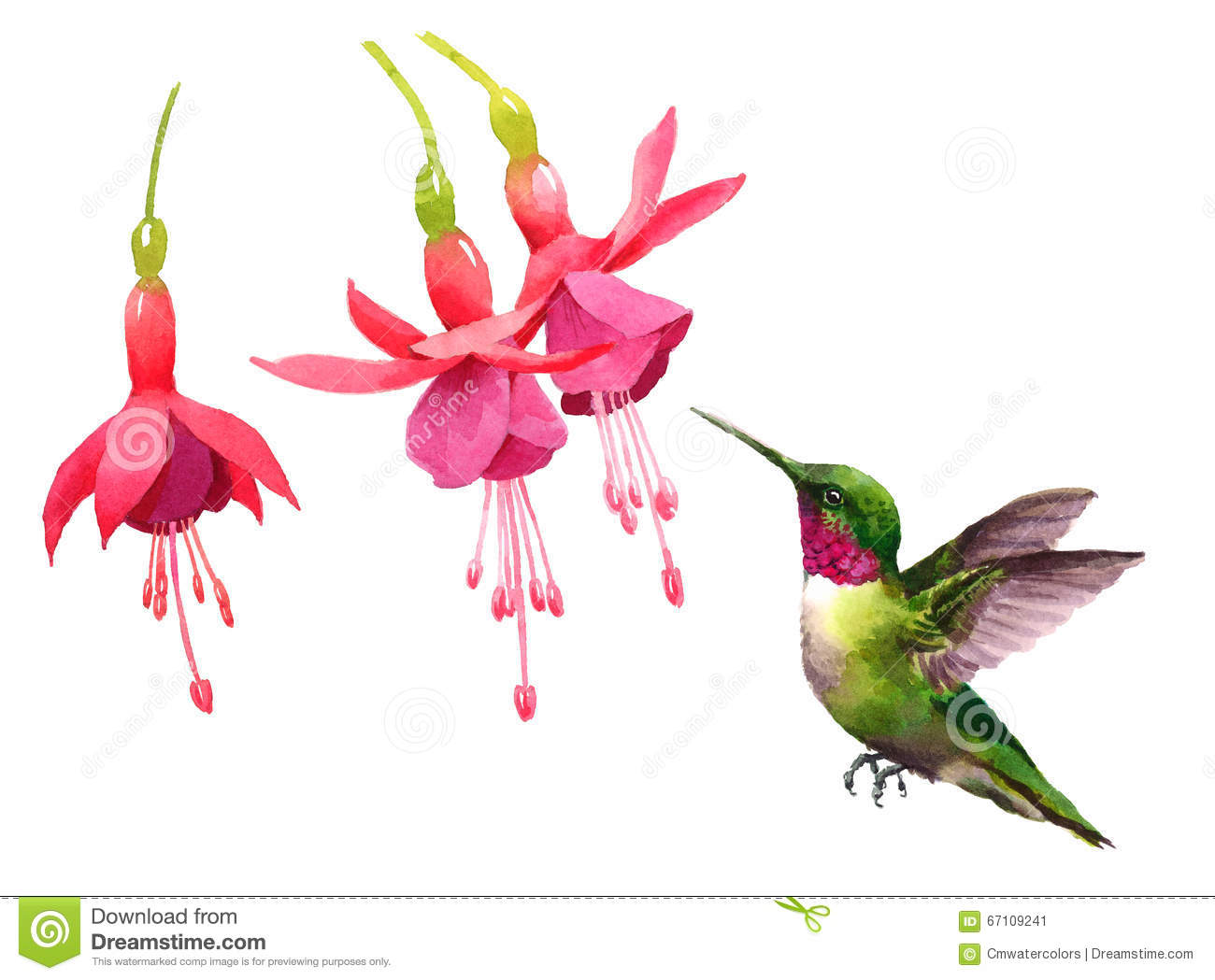 Stock Illustration Hummingbird Flying Around Fuchsia Flowers Watercolo...