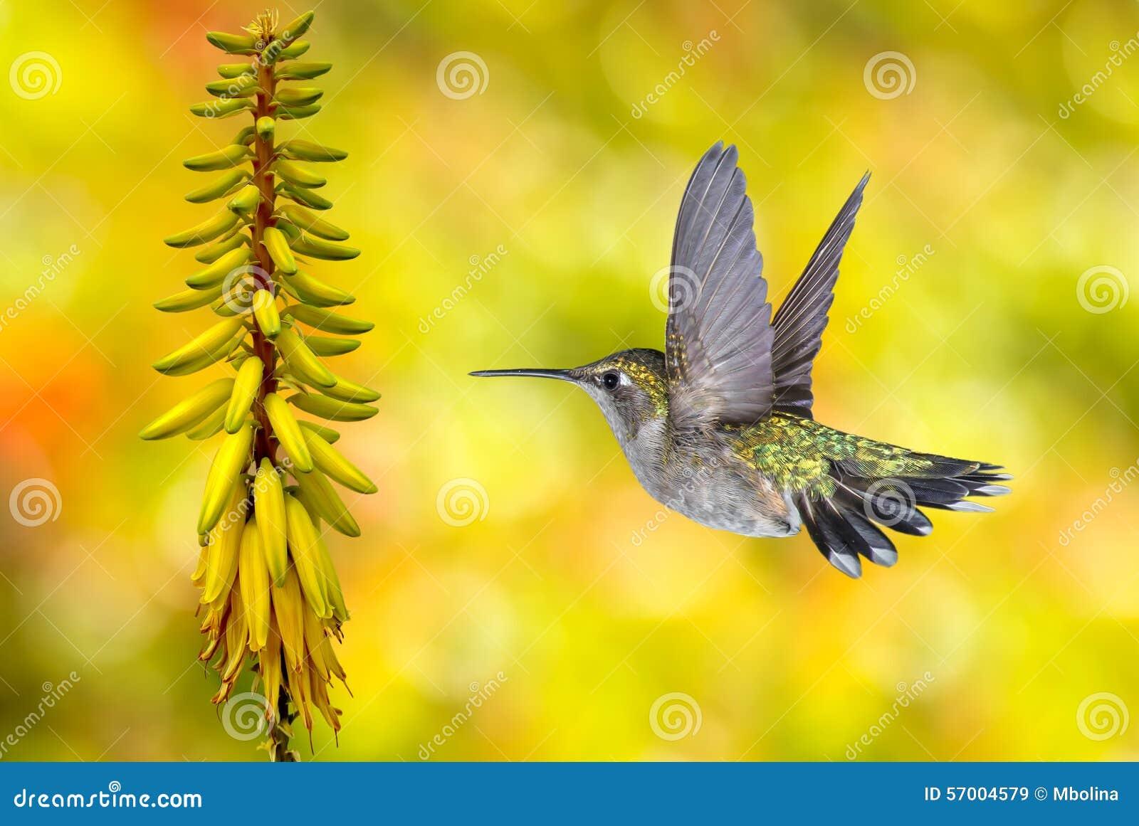 Hummingbird Flying over Yellow Background