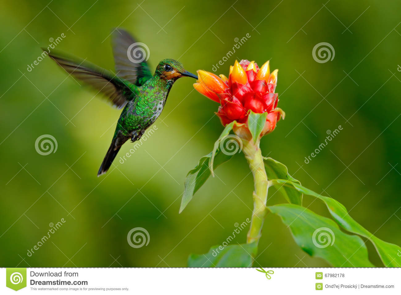 Hummingbird Green-crowned Brilliant, Heliodoxa jacula, green bird from Costa Rica flying next to beautiful red flower with clear b